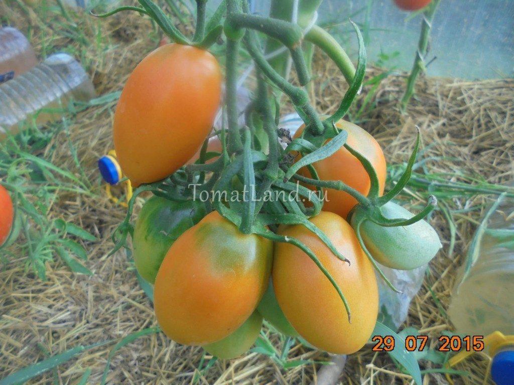 томат золотая пуля отзывы