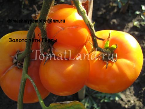 томат тетя герти золотая ajnj