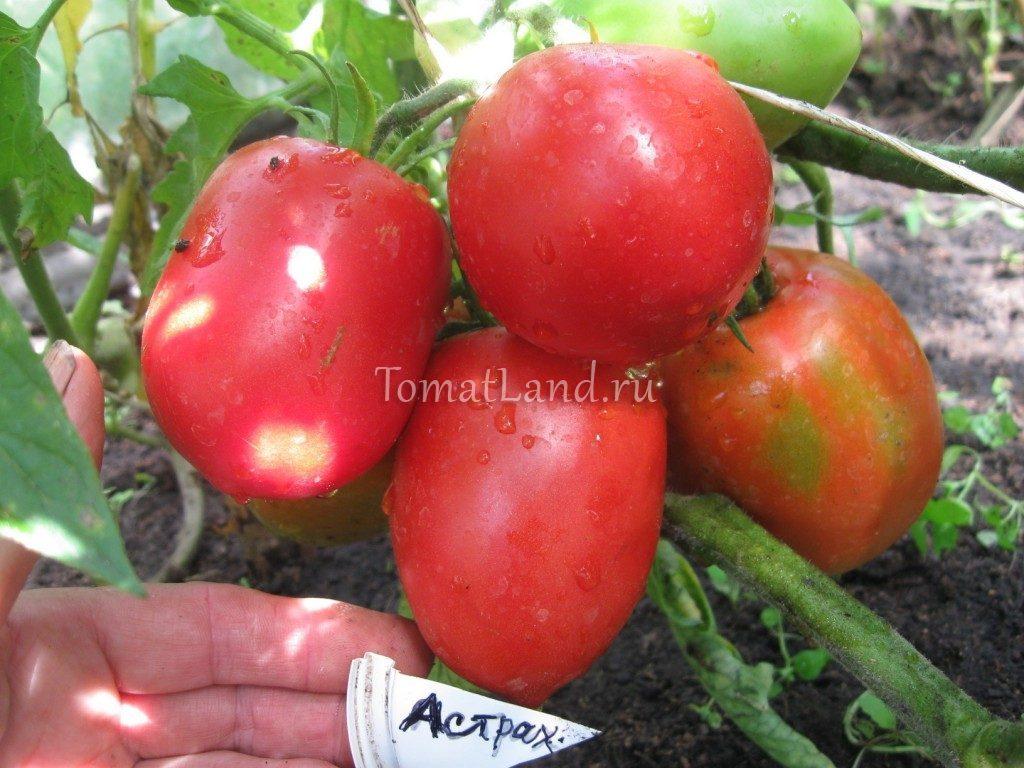 томаты Астраханские фото отзывы
