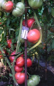 помидоры австралиец фото куста