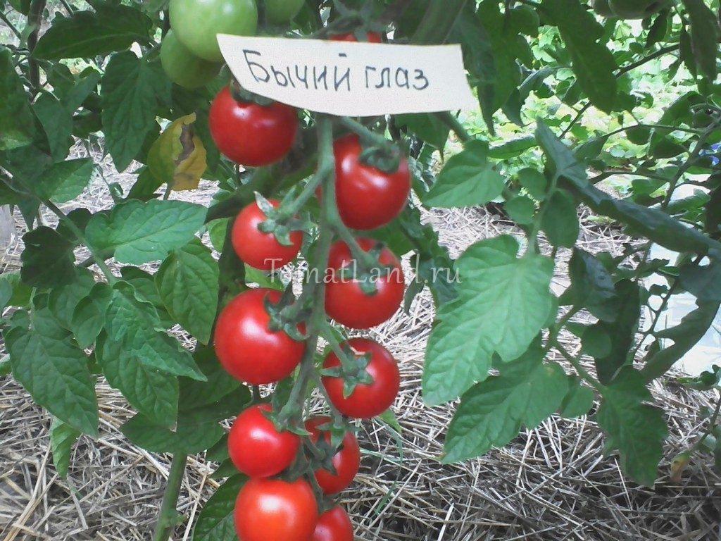 помидоры Бычий глаз фото отзывы характеристика