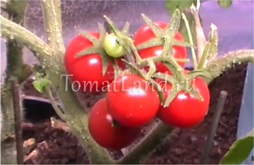 томаты божья коровка отзывы фото