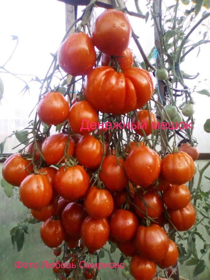 помидоры денежный мешок