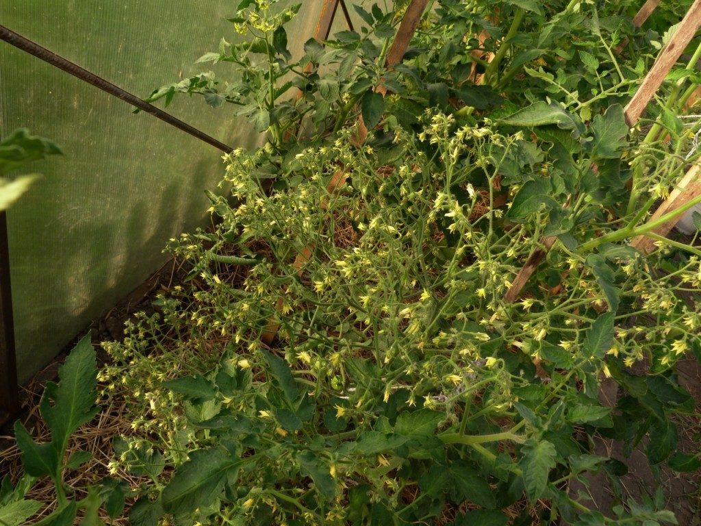 цветение томата Денежный мешок
