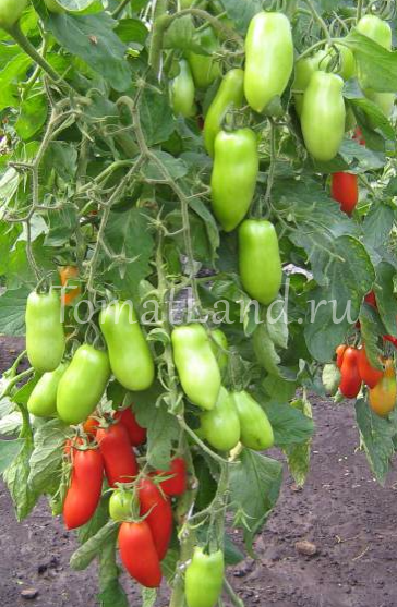 томат дамский угодник фото отзывы харакеристика