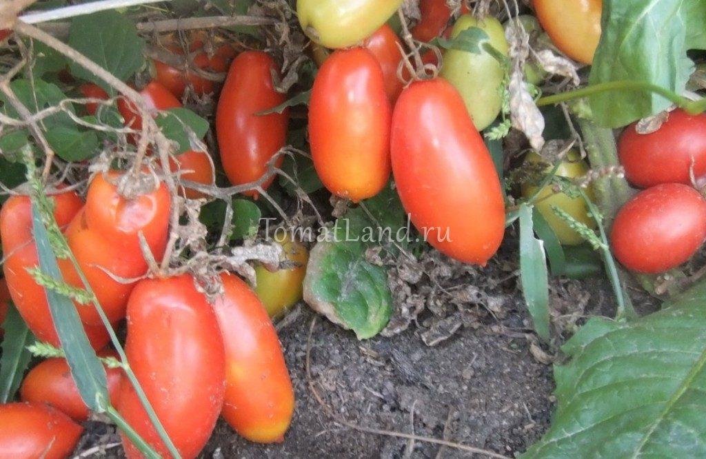 томаты гаспачо фото на кусте