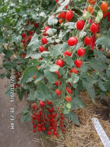 томат черри 355