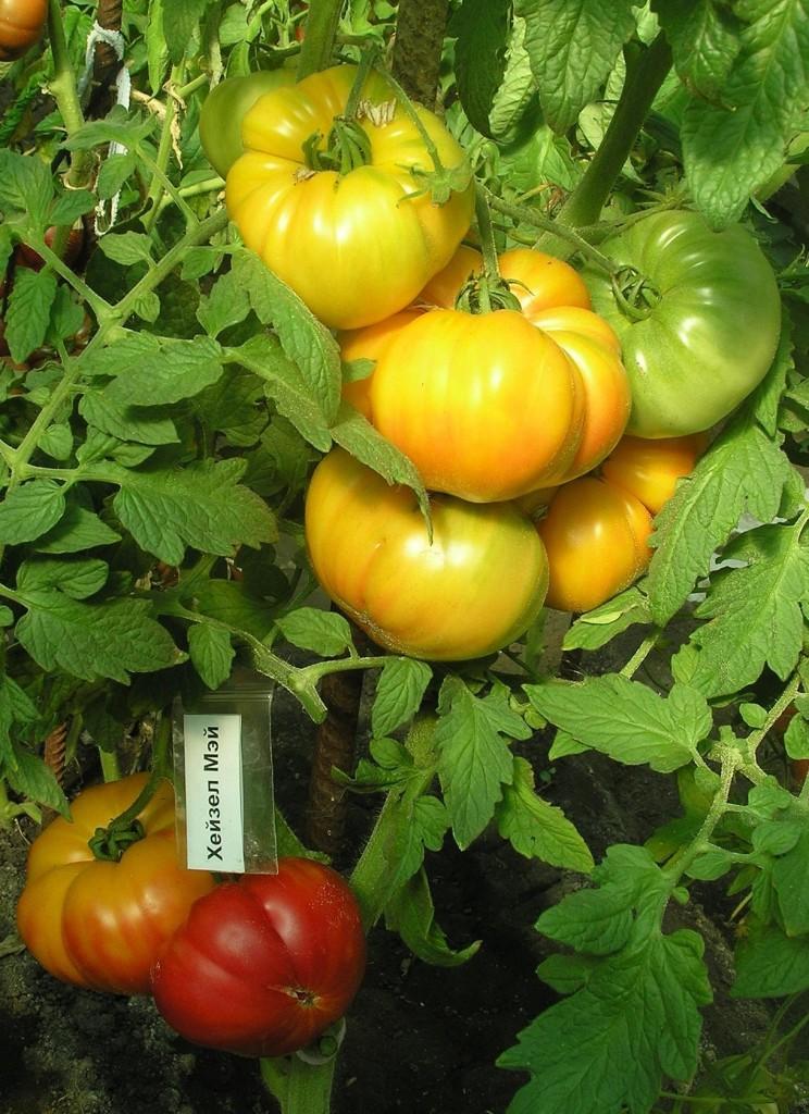 томаты хейзел мей фото на кусте