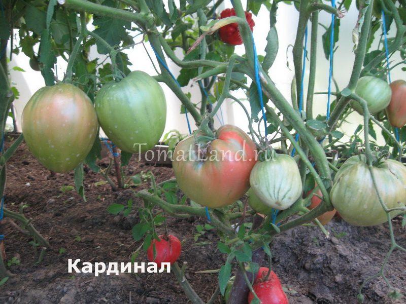 томат Кардинал фото куста