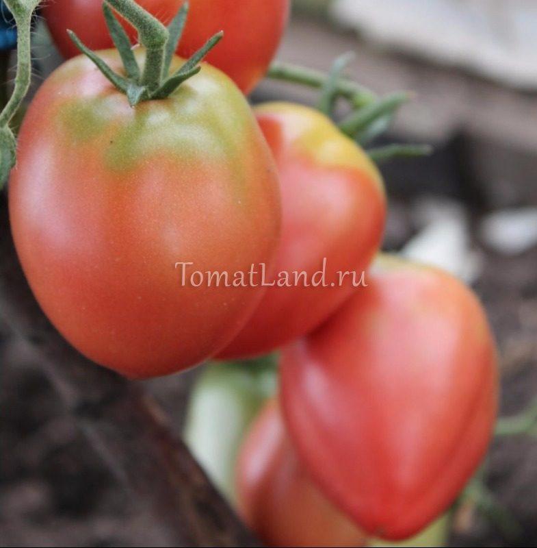 помидоры кемеровец фото