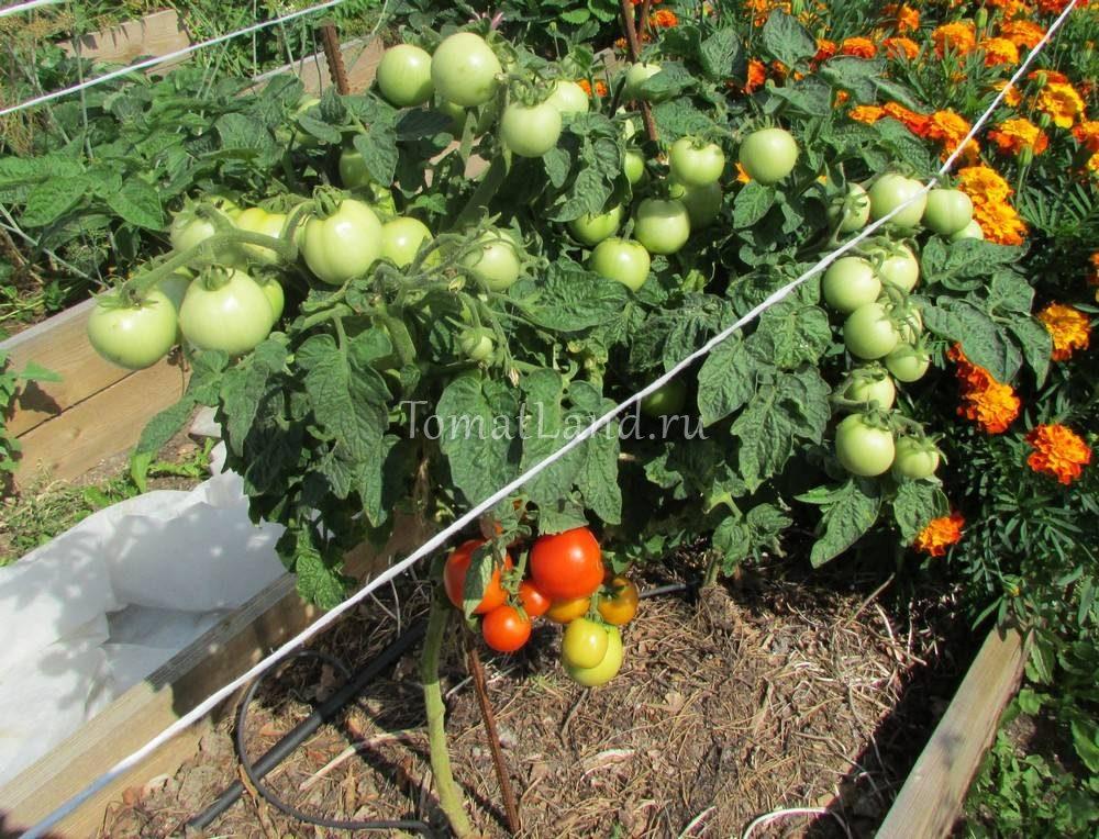 помидоры красная шапочка фото куста