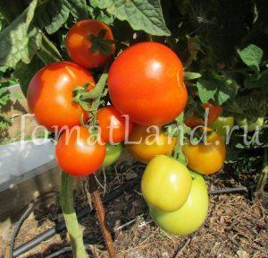 томат Красная шапочка