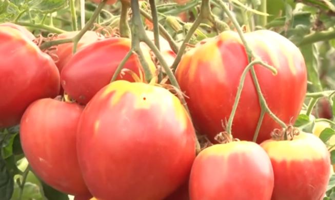 помидоры Сахарная Настасья фото