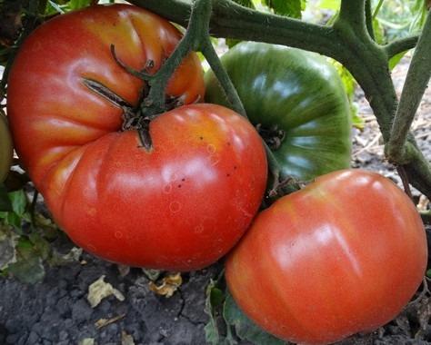 помидоры Ювель фото