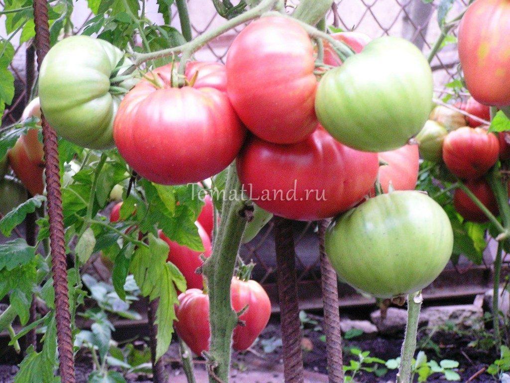 томаты ювель на кусте фото