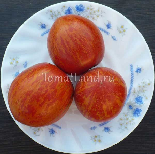 томат бархатный мелированный фото