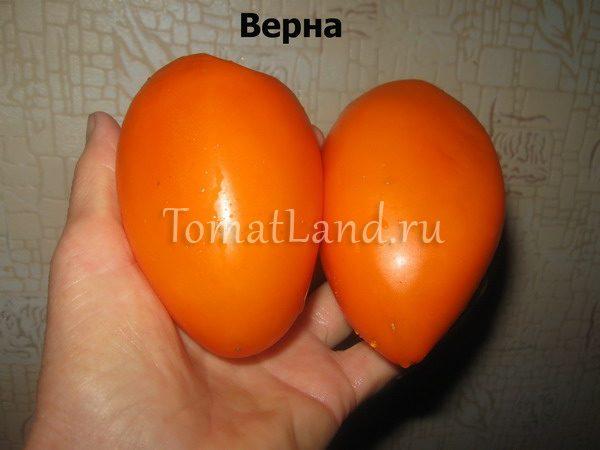 томат Верна Болгария фото спелых плодов