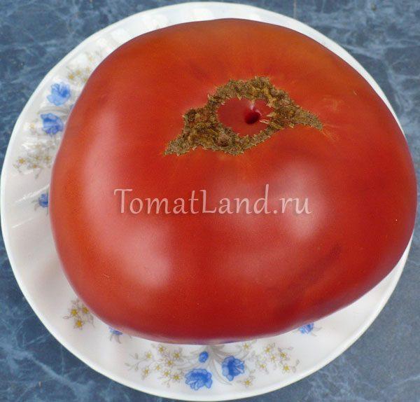 томат уинселл фото спелых плодов