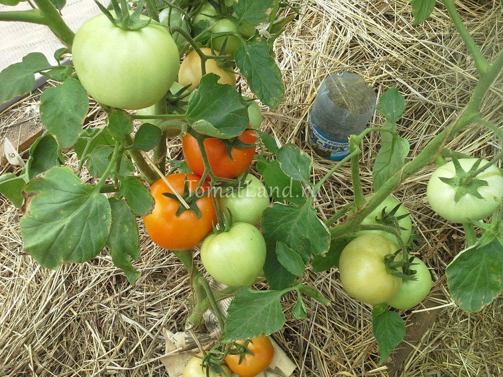 томат звезда сибири