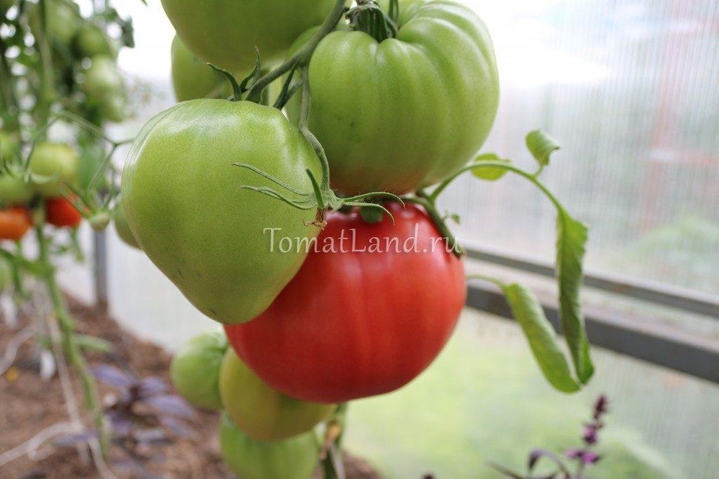 помидоры Микадо Сибирико фото куста