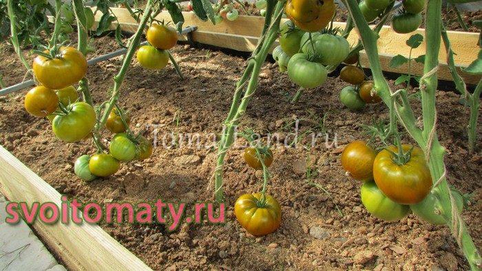 томат янтарная комната фото