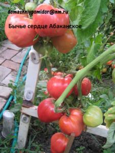 томат бычье сердце абаканское