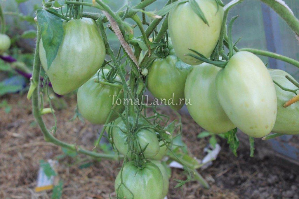 помидоры бычье сердце абаканское