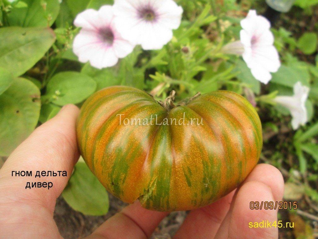 томат дельта дивер фото
