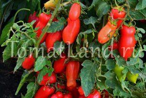 помидоры веселый гном фото