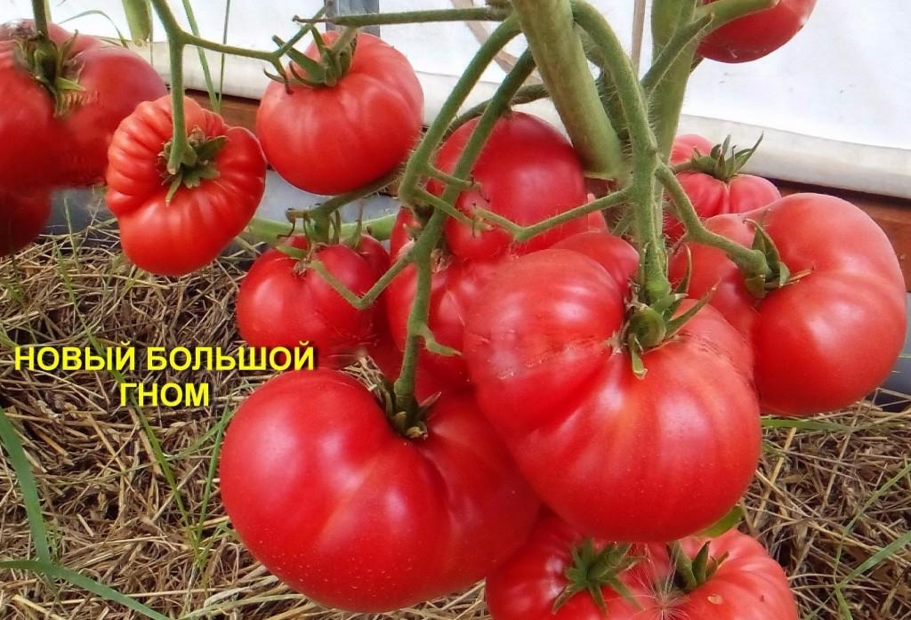 помидоры новый большой гном фото
