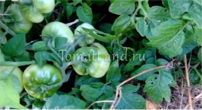 выращивание помидоров клуша