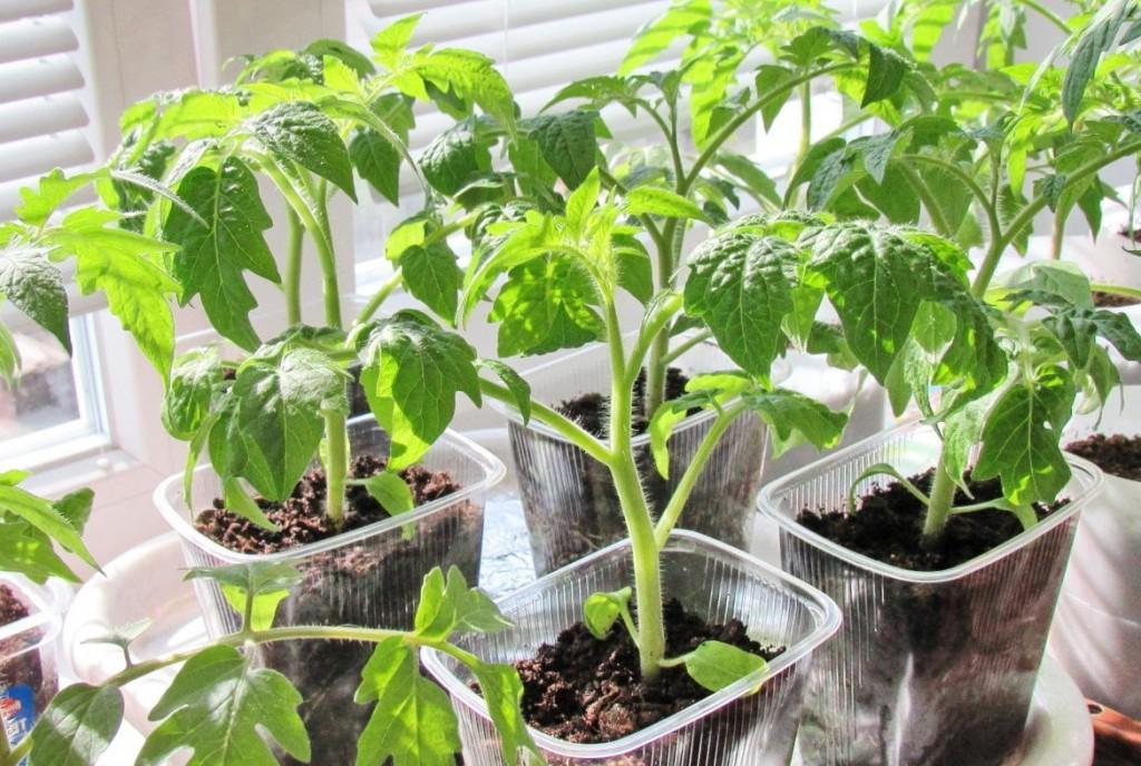 томаты открытого грунта клуша