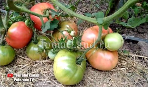 томаты король гигантов фото на кусте