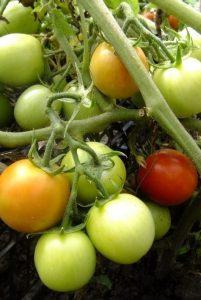томаты никола