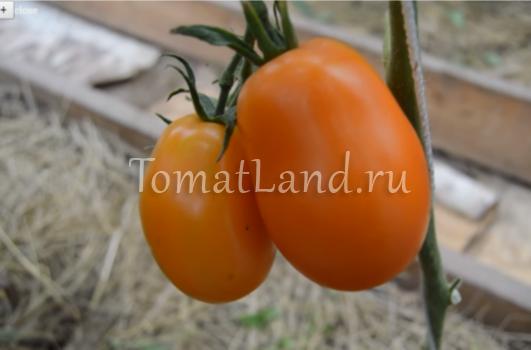 помидоры олеся фото