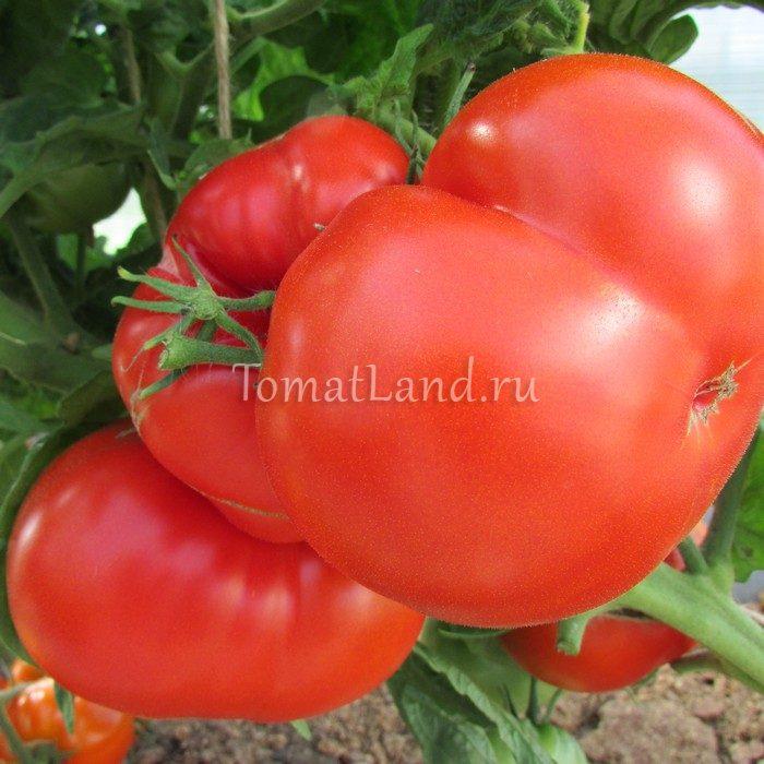 томат штамбовый крупноплодный фото спелых плодов