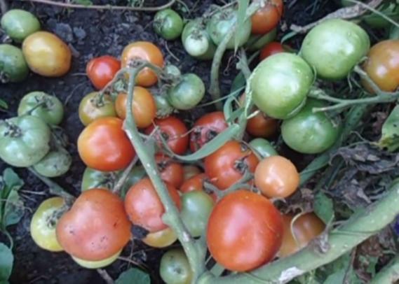 томаты ультраскороспелый отзывы и фото