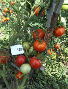 помидор виттас фото на кусте
