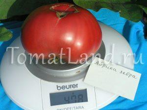 помидор абрика зебра фото на весах
