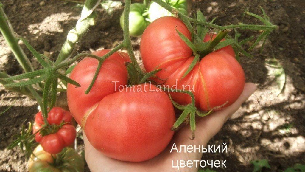 помидоры Аленький цветочек фото спелых плодов