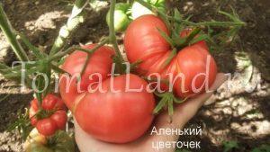 помидоры Аленький цветочек
