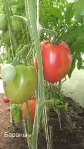 томат Бараны