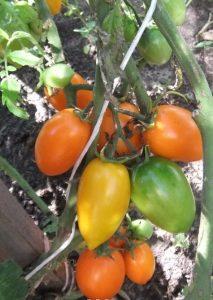 помидоры елисей фото