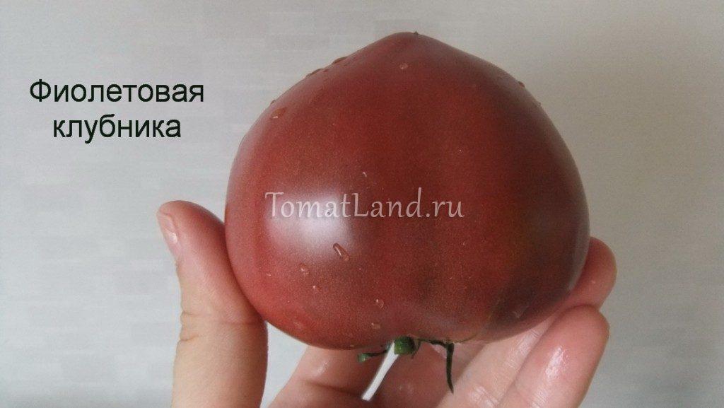 томат фиолетовая земляника фото спелых плодов