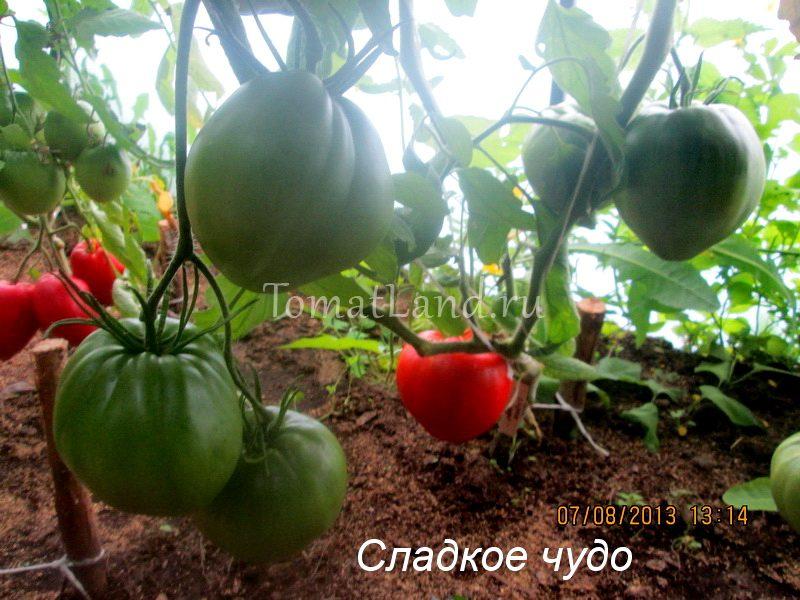 помидоры сладкое чудо фото описание