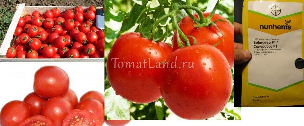 томат солероссо фото спелых плодов