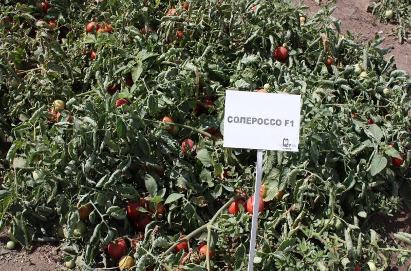 томаты солероссо фото отзывы описание