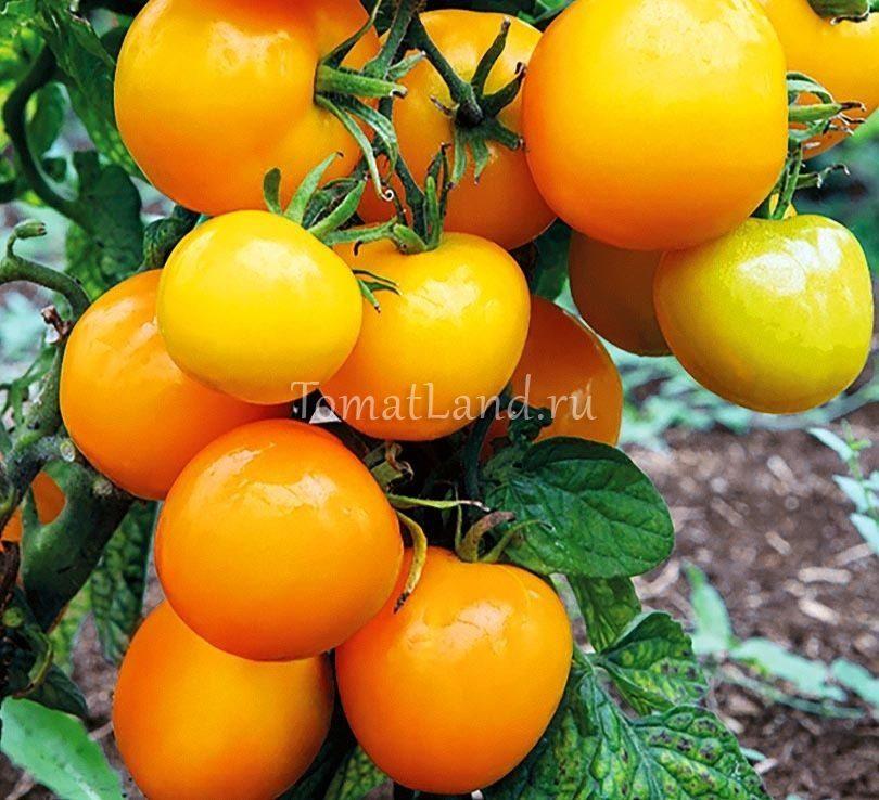 помидоры абрикос отзывы фото