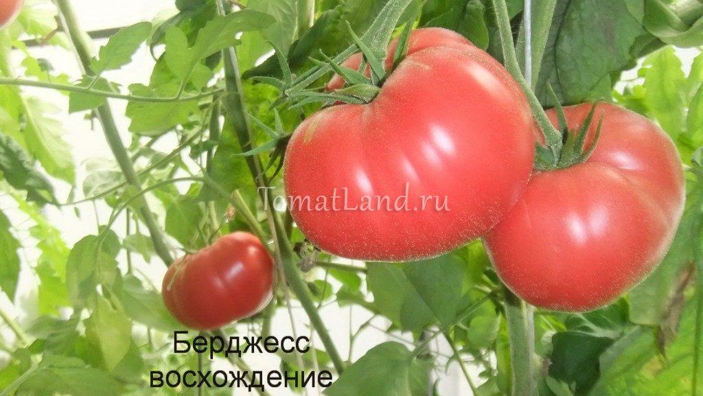 томат берджесс восхождение фото куста