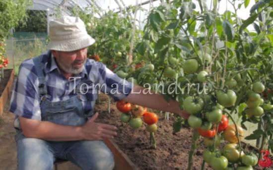 помидоры диадема фото отзывы характеристика